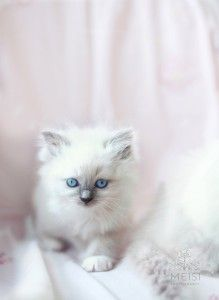 Little Ragdoll
