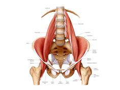 A great article on the functional importance of the psoas and how physical and emotional imbalance can negatively affect this muscle.