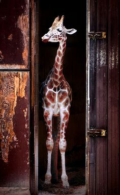 Giraffe in barn Animals And Pets, Baby Animals, Funny Animals, Cute Animals, Beautiful Creatures, Animals Beautiful, Animal Pictures, Cute Pictures, Giraffe Pictures