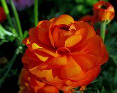 Flower #1 - Red Ranunculus by jefg99, via Flickr
