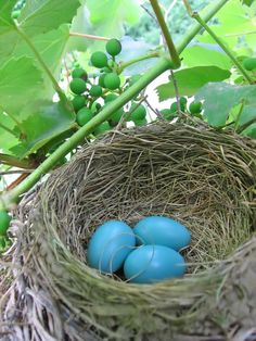 robin's eggs in a nest