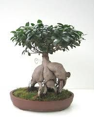 ficus and bonsai on pinterest. Black Bedroom Furniture Sets. Home Design Ideas