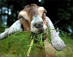 Starting a Goat Farm Walking Dead Funny, Fear The Walking Dead, Farm Animals, Cute Animals, Animal Fun, Funny Animals, The Walk Dead, Goat Farming, Stuff And Thangs