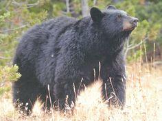 Brown Bear in the Colorado Mountains