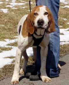 Redtick Coonhound M named Droopy on Marlinton, WV @ Pocahontas County Animal Shelter asapwva@gmail.com