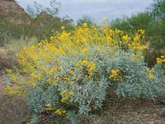 photos of low water and drought tolerant plants Botanical Name: Encelia farinosa  Common Name: Brittlebush