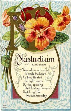 Nasturtiums - the duchess of beautiful love