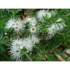 Kunzea ambigua prostrate, a fantastic ground cover. Kunzea ambigua prostrate, a fantastic ground cov Gravel Garden, Garden Plants, Back Gardens, Small Gardens, Australian Native Garden, Australian Bush, Australian Wildflowers, Ground Cover Plants, Fake Plants