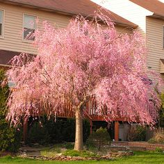 Double Pink Weeping Cherry - This tree will stop traffic with its spring blooms! The lovely, weeping pink flowers will delight you and everyone on your street. This fast-growing tree features graceful cascading branches that are studded with lovely pink blossoms in early to mid-spring.     As a small ornamental tree,...