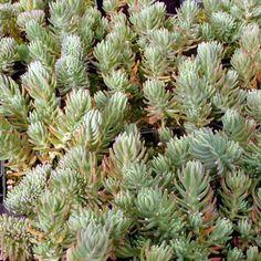 Sedum rupestre f. cristatum. Crested Stonecrop. Sprawling stems w stiff grey-green succulent foliage. Stems may flatten into crests, cockscombs. Free Ship $75+