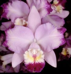 'Cylvia' Orchid