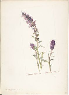 Mountain Phacelia, Phacelia sericea by Margaret Neilson Armstrong (American, New York 1867–1944 New York) Date: July 1909