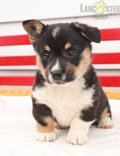 #WelshCorgi #Pembroke #Charming #PinterestPuppies #PuppiesOfPinterest #Puppy #Puppies #Pups #Pup #Funloving #Sweet #PuppyLove #Cute #Cuddly #Adorable #ForTheLoveOfADog #MansBestFriend #Animals #Dog #Pet #Pets #ChildrenFriendly #PuppyandChildren #ChildandPuppy #LancasterPuppies www.LancasterPuppies.com Pembroke Welsh Corgi Puppies, Lancaster Puppies, Leash Training, Animals Dog, Puppies For Sale, Mans Best Friend, Puppy Love, Pets, Children