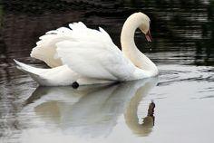 swan    Brasschaat, Belgium