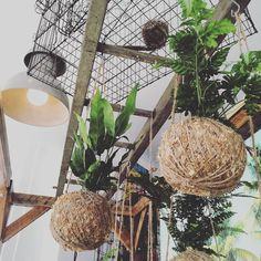 GRAB A MOSS BALL FOR DAD  this Fathers Day. A new fresh delivery by @hangin_spaces in store now.