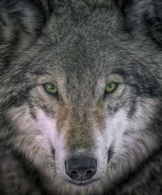 "beautiful-wildlife: "" Gray Wolf Portrait by Rick Mousseau The eyes tell all. """