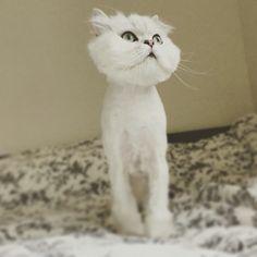 Big head#cats #kitten #lovecats #ragdoll #chinchilla #Persian #kitten #meow #lovecat