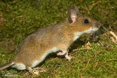 Image result for field mouse Mouse Photos, Animals Images, Nature Images, Rodents, Wildlife, Pictures, Chinchillas, Hamsters, Field Mice