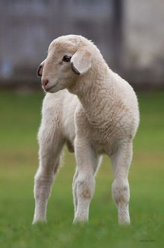 the-cute-creatures:  (via 500px / lamb # 2 by zoran simic) Click here for more cute creatures!