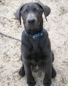 OMG a charcoal lab! So much prettier then silver!