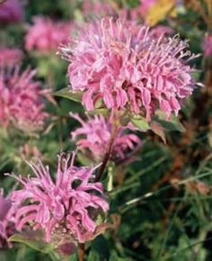 Attract butterflies, bees and hummingbirds to your yard with Bee Balm flowers from Bluestone Perennials. Learn more about perennial Monardas today. Exotic Flowers, Pink Flowers, Beautiful Flowers, Bee Balm Flower, Hummingbird Flowers, Bulb Flowers, Garden Care, Colorful Garden, Flower Seeds