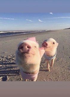 New baby animals adorable piggies ideas Cute Little Animals, Cute Funny Animals, Cute Dogs, Little Pigs, Cute Baby Pigs, Cute Piglets, Baby Piglets, Baby Animals Pictures, Cute Animal Photos