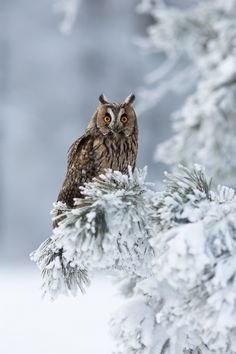 Long-eared owl resting on a snow-capped tree.