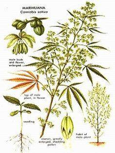 High Quality Cannabis Seeds - Worldwide Delivery - cannabis flowers #cannabis #marijuana #seeds #cannabis #seeds
