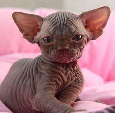 Sphynx kitten http://ift.tt/2dud28N