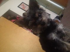 This looks just like my new grand baby Chorkie, Zoey
