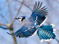 Blue Jay in Flight Placemat - Surprise the party with these stunning placemats. Let this vibrant blue jay descend onto your kitchen table for a new conversation piece. Cumpleaños Angry Birds, Pet Birds, Songbird Tattoo, Tattoo Bird, Blue Jay Tattoo, Arte Peculiar, Blue Jay Bird, Bird Pictures, Nature Animals