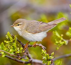 Willow Warbler (Phylloscopus trochilus) temperate Northern Europe and Asia