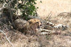 Cheetah - shot taken at Porini Rhino Camp, in the Ol Pejeta Conservancy Mount Kenya, Cheetahs, African Safari, Ol, Wildlife, Animals, Animales, Animaux, Cheetah