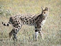 Google Image Result for http://savannah-serval.com/wp-content/uploads/2010/07/RH-serval.jpg