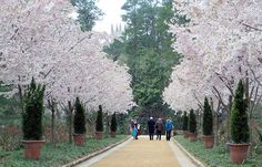 Akebono cherry trees line the Cherry Allée in the Historic Gardens, with Duke Chapel in the distance. Description from gardens.duke.edu. I searched for this on bing.com/images