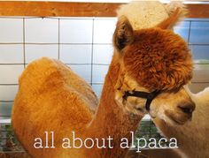 All About Alpaca.  Answers many questions regarding this fiber; drape, felting, warmth, skin sensitivity, etc.