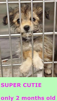 ADOPTED--This little angel is just 2 months and her amazing personality and super cute face are irresistible. Please SHARE, a FOSTER would save her life. Thanks! #A4800267 I'm an approximately 2 month old female terrier. I am not yet spayed. https://www.facebook.com/171850219654287/photos/pb.171850219654287.-2207520000.1423914073./371091763063464/?type=3&theater