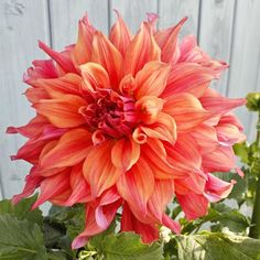 Dahlia 'Belle Of Barmera' - Blooms are over 10' across on this beauty.