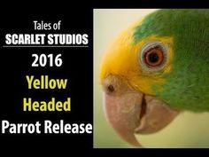 Releasing Wild Yellow Head Parrots