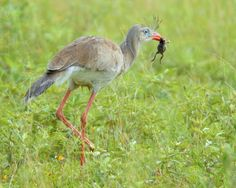 Foto seriema (Cariama cristata) por Jürgen Meier   Wiki Aves - A Enciclopédia das Aves do Brasil