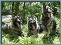 3 American Tundra Shepherds.