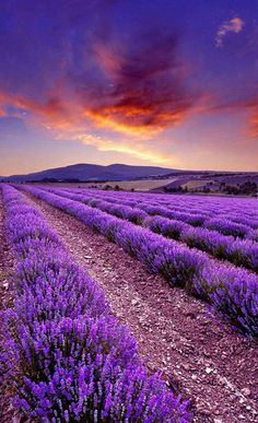 Lavender fields and beautiful sunset♡