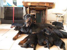 Bellissima rottweiler con i suoi cuccioli