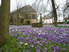 Crocus - St Chads Church, Poulton-le-Fylde,Lancashire