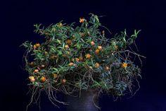 Orchids in Bloom: Mediocalcar decoratum