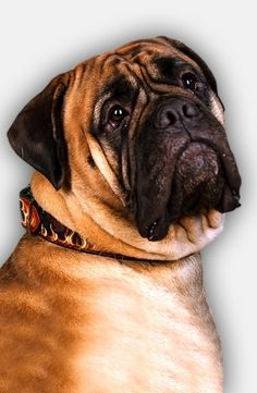Your Bullmastiff, wearing this Leather Dog Collar with Painted Flames, may be in a figurative sense like a fireplace.