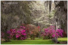Dogwood In Bloom Azaleas and Dogwood in Garden Color by McAnany