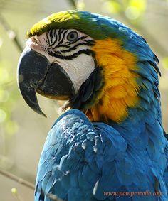 <3 beautiful Blue-Gold Macaw