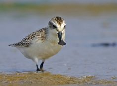 World's most wanted shorebird! I saw one in Malaysia, Nov 2011