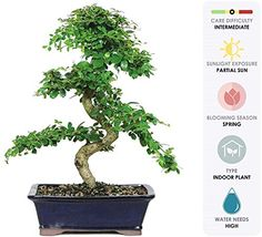 Brussel's Live Fukien Tea Indoor Bonsai Tree - 10 Years Old; to Tall with Decorative Container Indoor Bonsai Tree, Indoor Plants, Fukien Tea Bonsai, 10 Year Old, 10 Years, 5 Elements, Feng Shui Tips, Money Trees, Good Luck To You